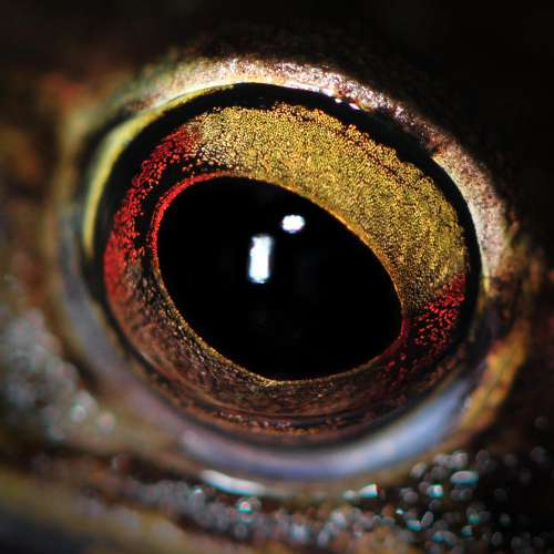 Close Up Of Frogs Eye
