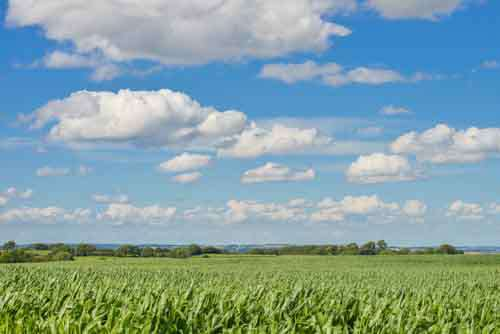 Corn Field With Blue Sky And Fluffy Clouds
