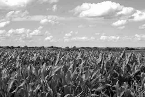 B&W Corn Field With Dramatic Sky