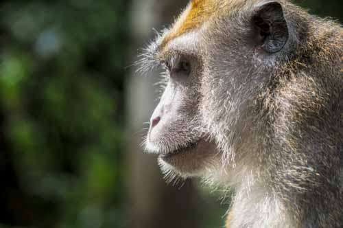 Close Up Of Wild Monkey In Profile
