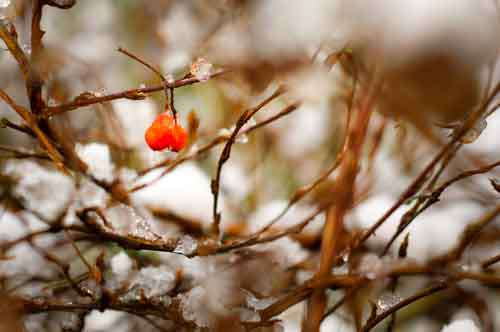 Two Red Berries Hanging From Bush With Snow In Winter