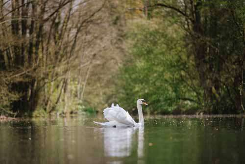 White Swan On A British Lake