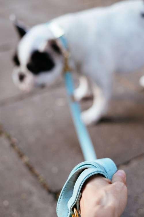 French Bulldog on a leash blurred
