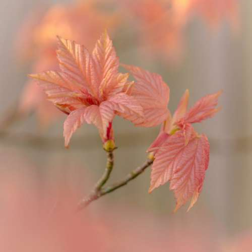 Pink Leaves Close up Free Photo