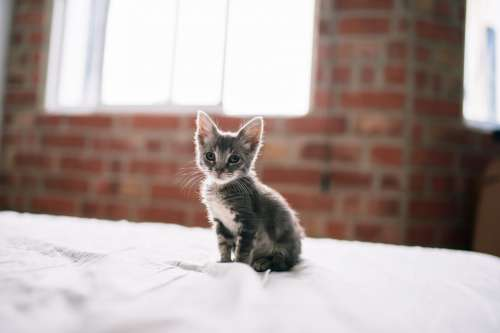 Tiny Kitten Stands On A Bed Photo