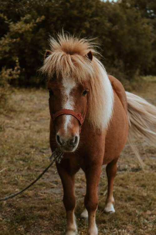 Walking Brown Shetland Pony Photo