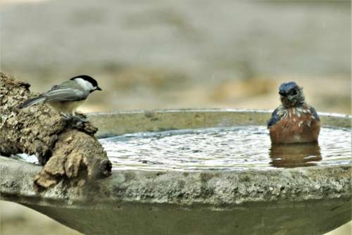 Chickadee And Bluebird At Bird Bath