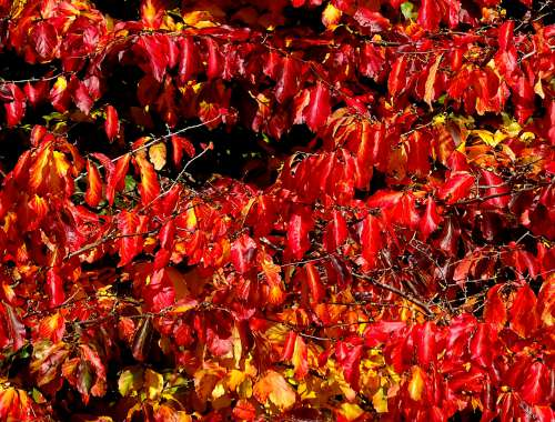 Red Autumn Fall Tree Leaves