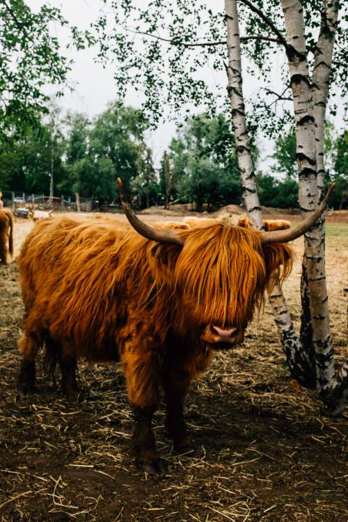 Highland Cow Stands Next To A Birch Tree Photo