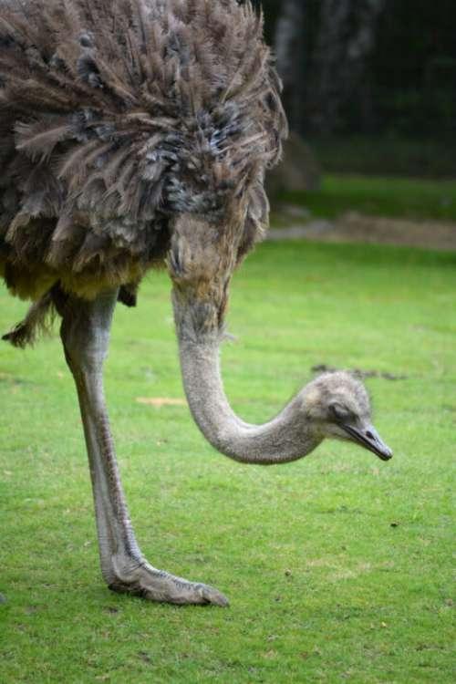 Ostrich Bird Free Photo