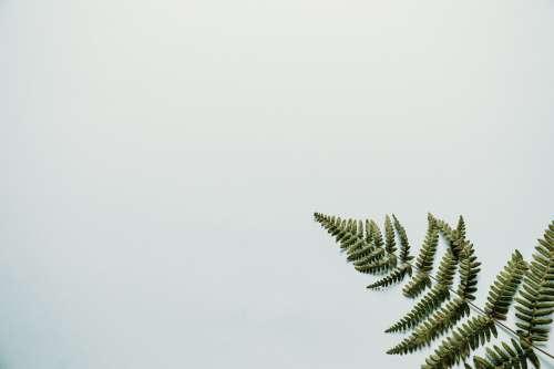 Fern Branch On White Background Photo