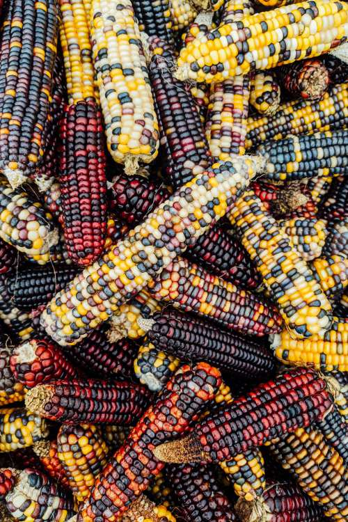 Multicolored Husked Corn Stacked Photo
