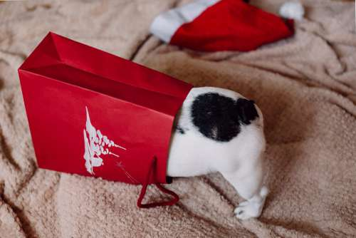 French Bulldog puppy hiding in a gift bag 5