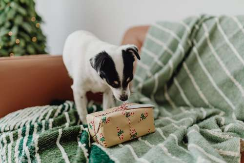 Christmas with the little dog