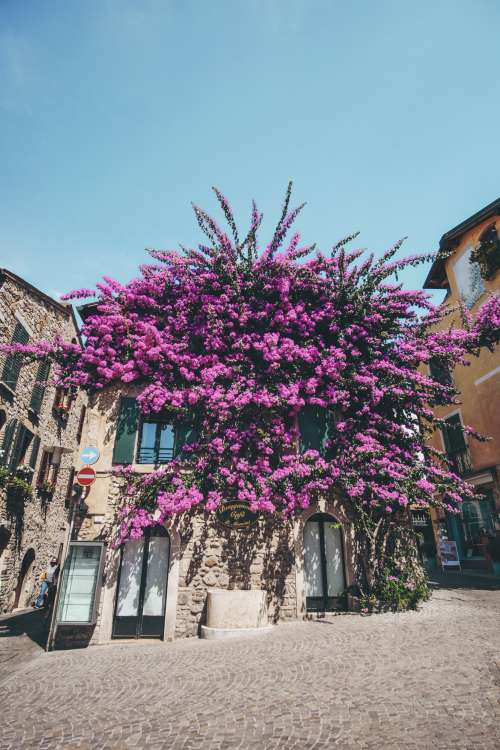 Building Covered With Bougainvillea In Full Bloom Photo