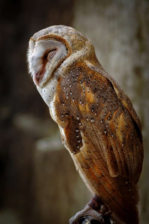 White And Gold Owl With Eyes Closed Photo
