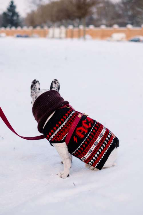 A french bulldog wearing a sweater out in the snow 2