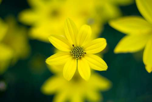 Yellow Flower Garden Free Photo