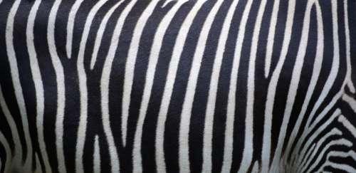 Zebra Stripes Animal Free Photo