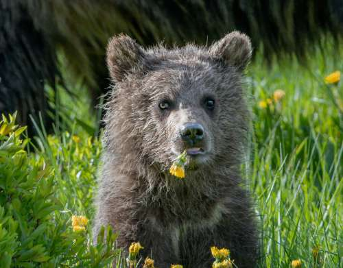 Young Bear Eating Dandelions Sitting In Green Grass Photo