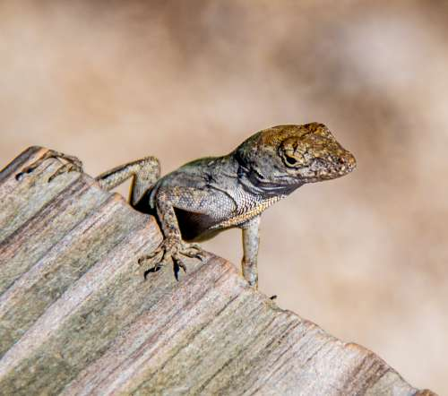 Lizard Perched On Weathered Wood Photo