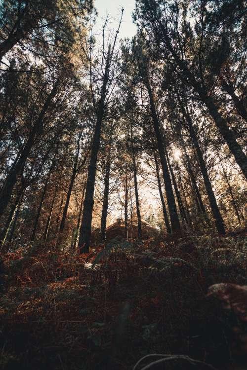 Tall Trees Reach High Against A Setting Sun Photo