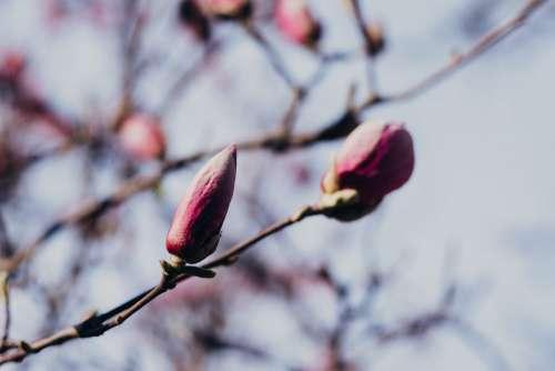 Magnolia tree blossom closeup 2