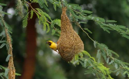 Small Yellow Bird On A Tangled Nest In A Green Tree Photo